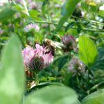 Biene Rotklee