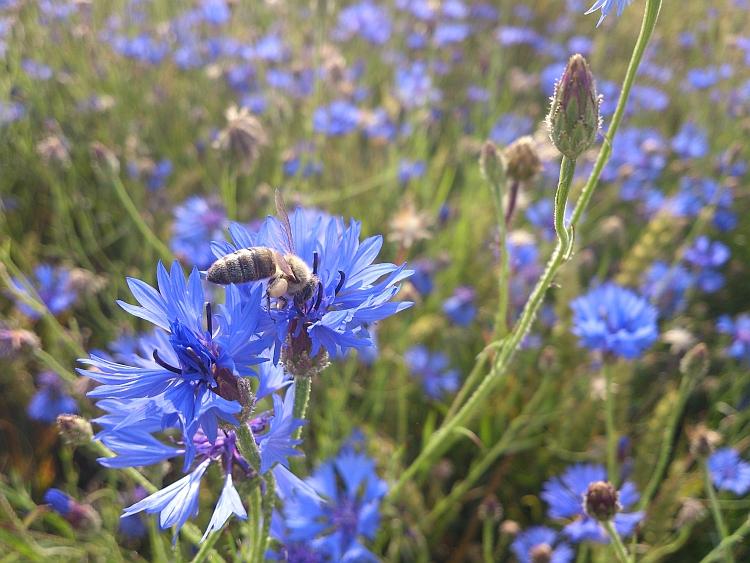 Bienen bestäuben Wild- und Kulturpflanzen