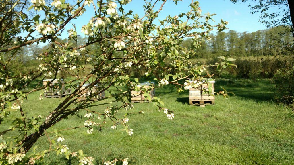 Bienenvölker in der Bioland-Heidelbeerplantage