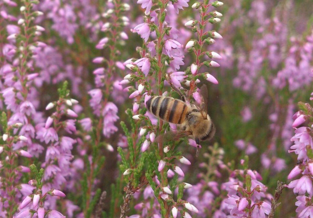 Biene sammelt Pollen und Nektar in der Heidetracht.